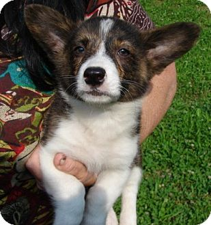 """Corgi Mix Puppy for adoption in Afton, Tennessee - Corgi Pup 1 """"Larry"""""""