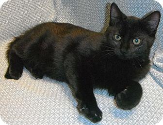 Domestic Shorthair Kitten for adoption in Jackson, Michigan - Henry