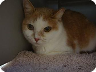 Domestic Shorthair Cat for adoption in Gainesville, Florida - Leloo