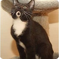 Domestic Shorthair Kitten for adoption in Winston-Salem, North Carolina - Bud