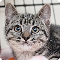 Adopt A Pet :: Sahara - Shelton, WA