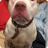 Adopt A Pet :: Oden - Bronx, NY