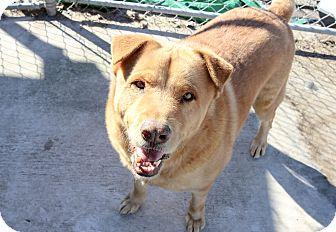 Shepherd (Unknown Type)/Retriever (Unknown Type) Mix Dog for adoption in Myakka City, Florida - Royce