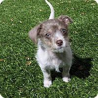 Adopt A Pet :: Pebbles - Encino, CA