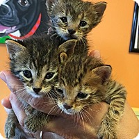 Adopt A Pet :: Rescue Kittens - New Orleans, LA