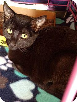 Domestic Shorthair Kitten for adoption in Randolph, New Jersey - Misty