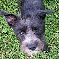 Adopt A Pet :: Brillo - Wethersfield, CT