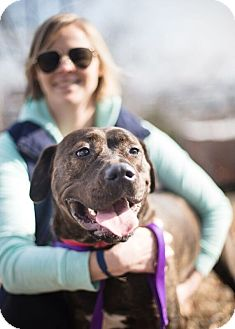 Mastiff/American Bulldog Mix Dog for adoption in Reisterstown, Maryland - Mari