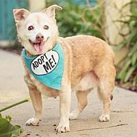 Adopt A Pet :: Bailey Terrier - Pacific Grove, CA