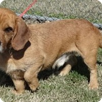 Adopt A Pet :: Major - Olive Branch, MS