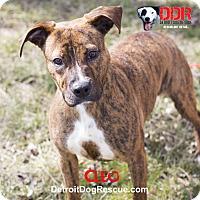 Adopt A Pet :: Cleo - St. Clair Shores, MI