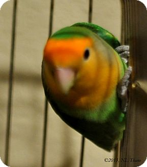 Lovebird for adoption in Lenexa, Kansas - Topaz