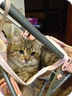 Domestic Shorthair Kitten for adoption in Pittstown, New Jersey - Tristan