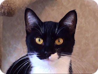 Domestic Shorthair Cat for adoption in Tyler, Texas - AA-Rebecca
