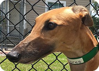 Greyhound Dog for adoption in Longwood, Florida - Jay's Delores