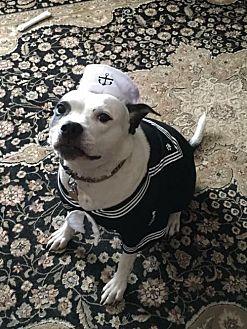 American Staffordshire Terrier Mix Dog for adoption in Whitestone, New York - Maggie Mae