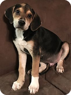 Hound (Unknown Type)/Pointer Mix Puppy for adoption in Redding, California - Billy