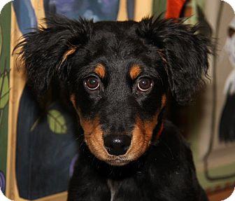 Australian Cattle Dog Mix Puppy for adoption in Orland Park, Illinois - PREACHER
