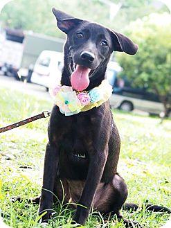 Shepherd (Unknown Type)/Labrador Retriever Mix Puppy for adoption in Castro Valley, California - Paulin