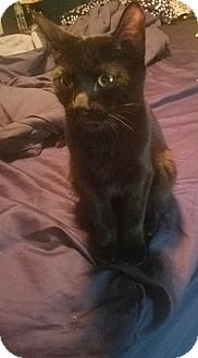 Domestic Shorthair Kitten for adoption in Hainesville, Illinois - Pom