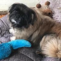 Adopt A Pet :: BOO BOO - SO CALIF, CA