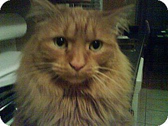 Domestic Mediumhair Cat for adoption in Guelph, Ontario - Katy