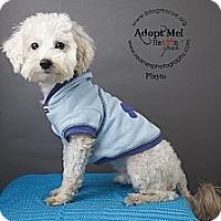 Adopt A Pet :: Playto - Shawnee Mission, KS