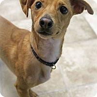 Adopt A Pet :: Tinkerbell - Brattleboro, VT