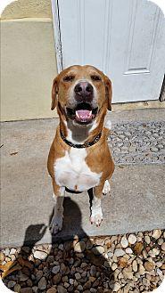 Labrador Retriever/Terrier (Unknown Type, Medium) Mix Dog for adoption in Palmetto Bay, Florida - Prince