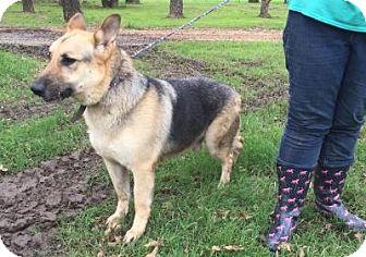 German Shepherd Dog Dog for adoption in Fort Worth, Texas - Sawyer