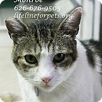 Adopt A Pet :: Marvelous MONROE - Monrovia, CA
