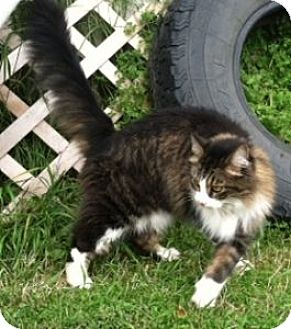Domestic Longhair Cat for adoption in Wasilla, Alaska - Bell Bell