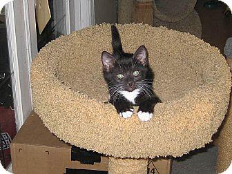 Domestic Shorthair Kitten for adoption in Tampa, Florida - Luna