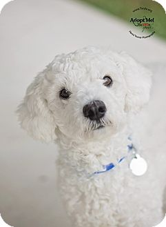 Poodle (Miniature) Mix Dog for adoption in Kingwood, Texas - Mr. Bubbles
