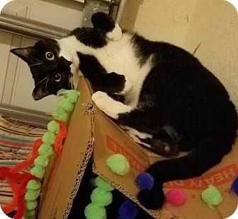Domestic Shorthair Cat for adoption in Apopka, Florida - Google 1