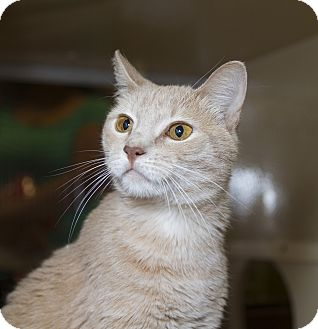 Domestic Shorthair Cat for adoption in Farmingdale, New York - Camille