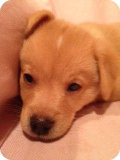 Golden Retriever Mix Puppy for adoption in White River Junction, Vermont - Harry Pup