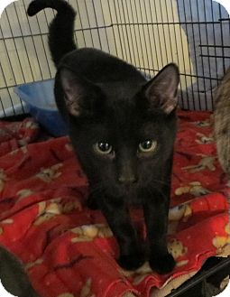 Domestic Shorthair Cat for adoption in Geneseo, Illinois - Dexter