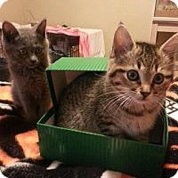 Adopt A Pet :: Sahara - Edmond, OK