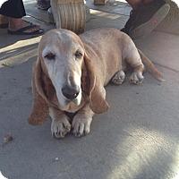 Adopt A Pet :: Traveller - Acton, CA