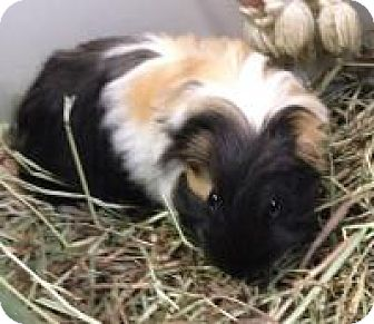 Guinea Pig for adoption in Quilcene, Washington - Pogo