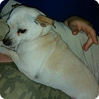Adopt A Pet :: Abigail - Incline Village, NV
