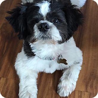 Shih Tzu Mix Dog for adoption in Los Angeles, California - CHOPSTIX