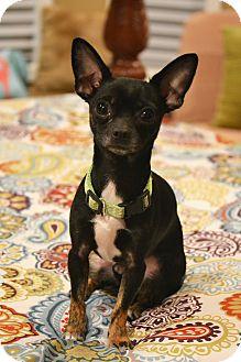 "Chihuahua Mix Dog for adoption in Staunton, Virginia - James ""Bond"""