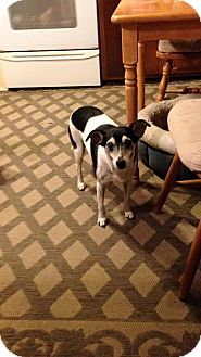 Rat Terrier Mix Dog for adoption in North Brunswick, New Jersey - Chloe