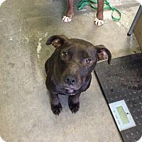 Adopt A Pet :: Calypso - Staunton, VA