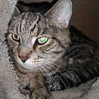 Adopt A Pet :: BooBoo - Anderson, IN