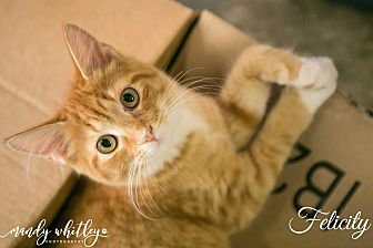 Domestic Mediumhair Cat for adoption in Columbia, Tennessee - Felicity