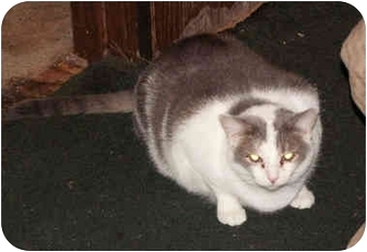 Domestic Shorthair Cat for adoption in Milford, Ohio - Princess