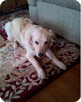 Golden Retriever Mix Dog for adoption in Alexandria, Virginia - Duke